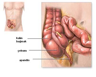 Apandis organı (Appendix Vermiformis)