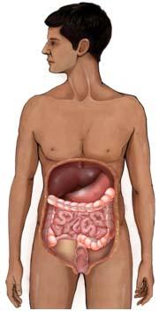 Sindirim Sistemi Anatomisi